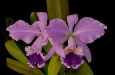 Orchid: Cattleya labiata coerulea - Flickr - Photo Sharing!