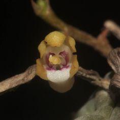 Taeniophyllum hasseltii