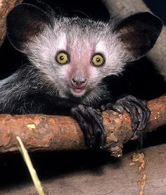 At the Cincinnati Zoo and Botanical Garden in Ohio, an aye-aye pops a pose for the camera. Just like a woodpecker, aye-ayes are percussion foragers. They use their long middle finger to tap on dead logs, listening closely for signs of insect larva inside.