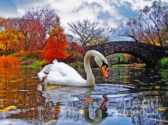 White swan and reflection in a lake. The Background is fall foliage and Gapstow Bridge in Central Park, New York City