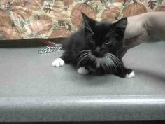 #A468725 Moreno Valley CA Female black and white Domestic Mediumhair. 13 weeks old. I have been at the shelter since Nov 22 2016 and I may be available for adoption on Dec 01 2016 at 5:01PM.  http://ift.tt/2fnGqtf  Moreno Valley Animal Shelter at (951) 413-3790 Ask for information about animal ID number A468725  #adoptdontshop #savealifeadopt #sheltercats #catsofinstgram #CA #morenovalley #savealifeadoptapet #fosteracat #southerncalifornia