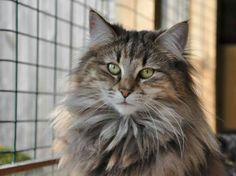Norwegian Forest Cats - Cattery av Verden
