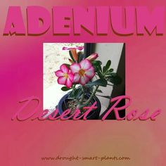 Adenium - the beautiful Caudiciform succulents