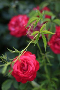 Rosier à fleurs romantiques Love Rose, Flowers, Plants, Green, Gardens, Courtyards, Romantic Flowers, Rose Bush, Beautiful Roses