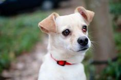 Meet Rio, a 5-year-old Terrier mix, who would love to be your snuggle buddy. Don't let his size fool you, he's a lover with a big heart, and his favorite spot is where he can love his people. He'd happily trade tail wags and kisses for a good chin or neck scratch. Rio would do well with a quiet owner who can help his personality really shine. He's sure to be a sweet and loyal member of your family. Rio was ADOPTED! from Seattle Humane, January 2017