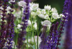 Salvia 'Caradonna' and Astrantia major 'Alba'- a vibrant combination