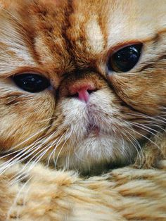 """Red Tabby Persian """"A cat could be man's best friend, but he would never stoop to admitting it."""" --Doug Larson"""