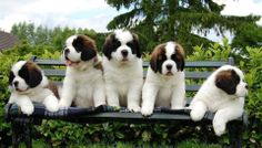 Saint Bernard Puppies. Of all dogs... This is what my boyfriend wants! The biggest one! lol