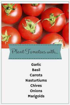 Tomato Companion Planting