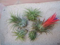 5 Pack Assorted Ionantha Air Plants on Etsy, $6.75