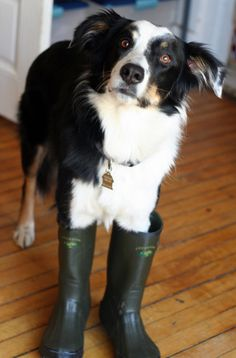 Buzz, a border collie from Ann Arbor, MI, is all suited up and ready to roll for this year's annual Fishing Derby. He looks so adorable no one has had the heart to tell him that the competition is for ice fishing, and it was a month ago.