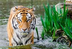Tiger spirit animal symbolism, meaning, and Galaxy watercolor paintings. What's your spirit animal? Tiger Wallpaper, Animal Wallpaper, Hd Wallpaper, Desktop Wallpapers, Nature Wallpaper, Beautiful Wallpaper, Wallpaper Pictures, Wallpaper Ideas, Nikon D7000