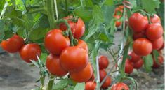 This is a complete guide on how to start tomato farming, from seed stage to harvesting. Basics things you need to start tomato farming Tomato Cultivation, Tomato Growers, Growing Tomatoes Indoors, Growing Tomatoes In Containers, Grow Tomatoes, Tomato Seedlings, Tomato Plants, Tomato Garden, Vegetable Garden