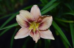 PLANTS-DAYLILY- H. Child of Fortune