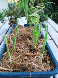 GARLIC: Did you know it grows well in pots? This is the growth 9 days after planting. Intensively 'food farming' in containers saves time, space $$. You can also move containers around to repel pests in your garden. Free 5 STEP TUTORIAL on how to grow organic garlic