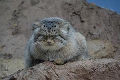 Pallas's Cat by Sloan - Photo 111995903 / 500px
