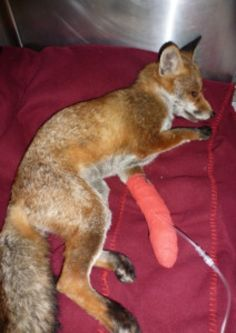 Poisoned fox found in Eastbourne