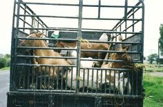 Shipping horses for meat.  Just imagine if the end of our lives came at the hands of such abuse.