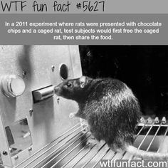 In a 2011 experiment where rats were presented with chocolate chips and a caged rat, test subjects would first free the caged rat, then share the food - WTF fun fact Wtf Fun Facts, True Facts, Funny Facts, Random Facts, Strange Facts, Crazy Facts, Funny Animals, Cute Animals, Unusual Animals
