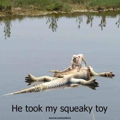 Funny Animal Pic: Dog wrestles squeaky toy from alligator!