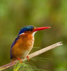 Little Malachite Kingfisher