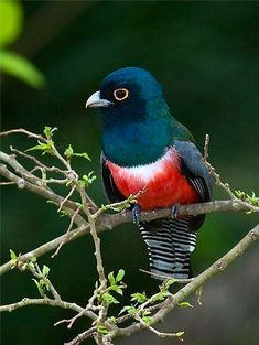 Blue-crowned Trogon via Paradise of Birds on Facebook
