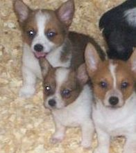 """So the ladies that we got Bob & Brie from have """"Cowboy Corgi Puppies"""" Cattle Dog & Corgi mixed (cute overload) Corgi Mix, Corgi Puppies, Cowboy Corgi, Puppies And Kitties, Dogs, Brie, Cattle, Kitty, Animals"""
