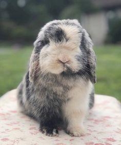 memories of Murphy Mini Lop, Holland Lop Bunnies, Indoor Rabbit, Cute Baby Bunnies, Pet Rabbit, Cute Little Animals, Cute Creatures, Animals Beautiful, Animals And Pets