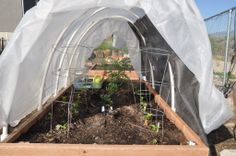 PVC hoop house worked well for pepper plants and a tomato.