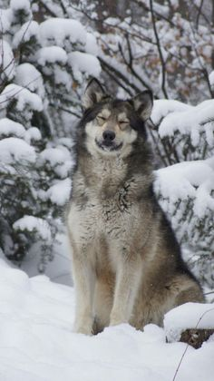 Wolf in the snow (he looks like he's smiling)