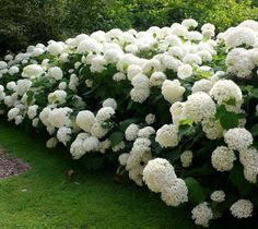 Annabelle Smooth Hydrangea Hydrangea arborescens annabelle Annabelle is a stunning white hydrangea, often producing flower heads over 10 in diameter. Blooms every year even after severe pruning and… Hydrangea Arborescens Annabelle, Annabelle Hydrangea, Smooth Hydrangea, Hydrangea Care, White Hydrangeas, Hydrangea Bush, White Flowers, Hydrangea Plant, Front Yard Landscaping