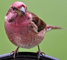 pink finch...Did you realize that a finch could be pink??? I didn't...