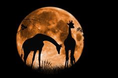 Giraffes at full moon