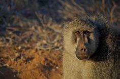 babbuino. Scattata al tramonto, nel parco naturale Tsavo East. Mi sembra triste. Chissà cosa pensava lui di me mentre mi guardava