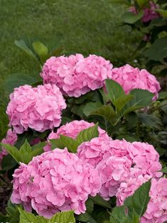 Let's Dance 'Big Easy' Hydrangea A reliable reblooming hydrangea, this beauty has large, vivid mop-head flowers that change from pinkish-green to pink and sometimes back to green. If you love to cut hydrangeas, this one is for you. Hydrangea Care, Hydrangea Not Blooming, Hydrangea Flower, Lilac Varieties, Hydrangea Varieties, Hydrangea Macrophylla, Garden Shrubs, Flowering Shrubs, Gardens