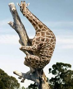 Cool writing prompt picture. What happened to the giraffe? Why is he on a tree?
