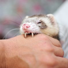 "ferret love This is how my ferret Ed would give kisses - she wouldn't bite hard (once I trained her not to), she'd just sort of mouth my hand and look at me like ""I'm being good! See?"" <3"
