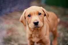 Fox red labrador, best dogs in the world