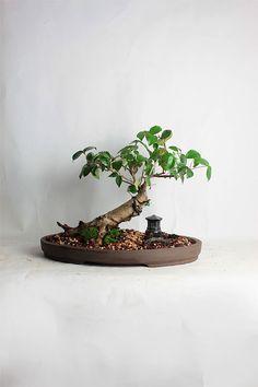 "Bermuda Cherry Bonsai tree ""Summer Shohin Collection"" by LiveBonsaiTree by LiveBonsaiTree on Etsy"