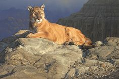 Fleeting Sun Daniel Smith LE 50 Canvas Signed NEW Giclee Wildlife Cougar in Art, Art from Dealers & Resellers, Prints Wildlife Paintings, Wildlife Art, Animal Paintings, Acrylic Paintings, Oil Paintings, Pumas, Daniel Smith Art, Nature Artists, Mountain Lion