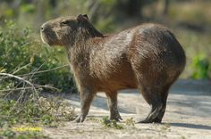 Capybara (Capybari?) are like gigantic snuggly hamsters. With hooves. And I'm only guessing that they're snuggly because, well, it would be wrong if they weren't. Look at them!