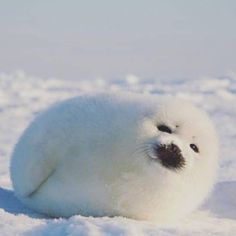 This looks exactly like Abbey's stuffed seal whose name is cutie seashore which I've always believed to be a fantastical name for a stuffed seal! Cute Wild Animals, Cute Little Animals, Animals And Pets, Funny Animals, Harp Seal Pup, Baby Harp Seal, Cute Seals, Baby Seal, Samoyed