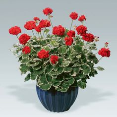 Geraniums and pelargoniums are drought tolerant bedding plants. They are ideal for baskets and pots. View our range of geranium and pelargonium plants for sale. Begonia, Geraniums, Schmidt, Flower Pots, Flora, Nursery, Leaves, Fancy, Plants