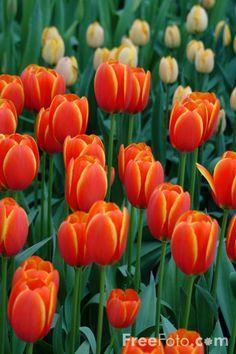 Dazzling tulip