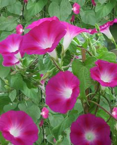 """Heirloom Crimson Rambler is a lovely heirloom morning glory has 4"""" vibrant pink flowers.  It produces long 12' vines which will cover a trellis or arbor beautifully."""