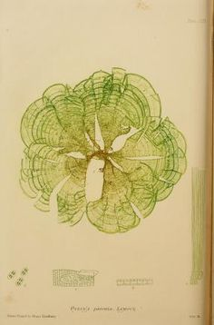 "from ""The Nature-printed British Seaweeds, published by Henry Bradbury, (1859–60)"""