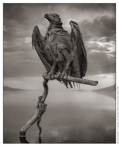 NICK BRANDT : BEHIND THE PHOTO:  #4 : PETRIFIED FISH EAGLE, LAKE NATRON, 2012 To t...