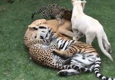 13 GIFs Of Big Cats Acting Like Regular-Sized Cats from Cool Stuff Dot Biz でっかいニャンコ…全部種類が違うのね
