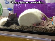 Animal-memes-uncomfortable-rat-sleeping.jpg (620×466)