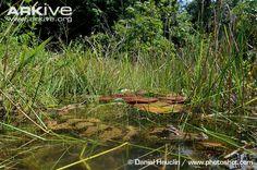 Spectacled caiman resting among aquatic plants - Daniel Heuclin